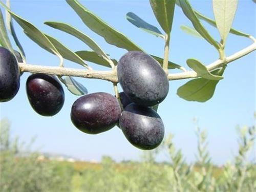 Pianta di olivo nociara < olea europaea > online vivai il sorbo