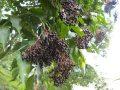 Pianta di sambuco nero < sambucus nigra > online vivai il sorbo