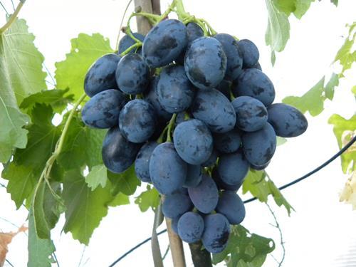Pianta di uva black magic il sorbo vivai di antonio santini - Vivai uva da tavola ...