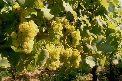 Pianta di uva ecologica bianca < vitis vinifera >