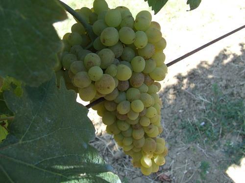 Pianta di uva lugliatica < vitis vinifera > online vivai il sorbo