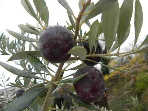 Pianta di olivo nocellara del belice online vivai il sorbo