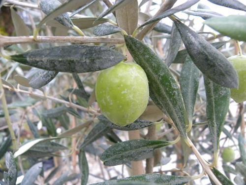Pianta di olivo correggiolo online vivai il sorbo
