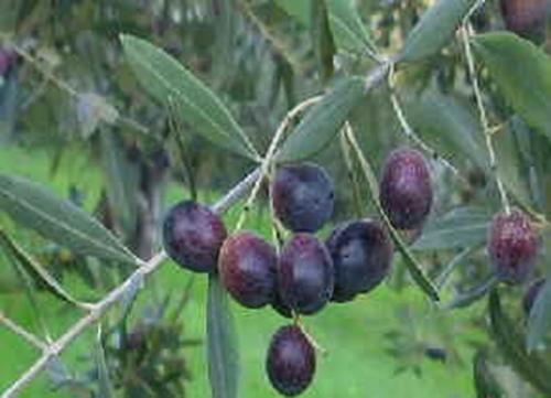 Pianta di olivo carboncella online vivai il sorbo