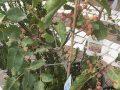 Pianta di pistacchio < pistacia vera > online vivai il sorbo