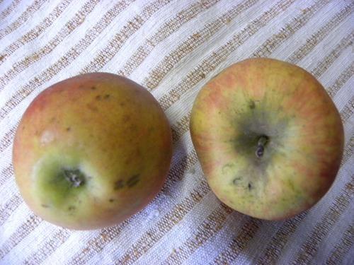 Pianta di mela aranciata cox online vivai il sorbo