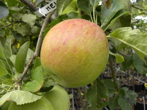 Pianta di mela aranciata di cox online vivai il sorbo