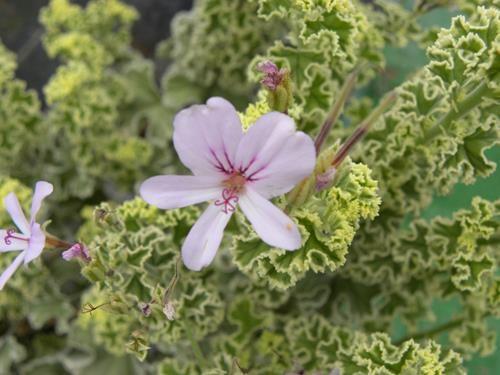 pelargonium crispum variegato online vivai il sorbo