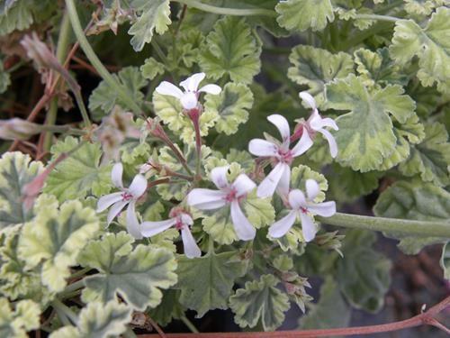 pelargonium variegated fragrans online vivai il sorbo