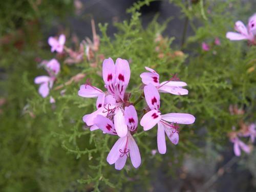 pelargonium filicifolium online vivai il sorbo