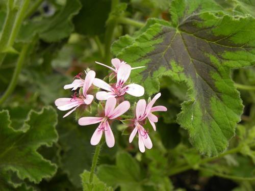pelargonium chocolat peppermint online vivai il sorbo