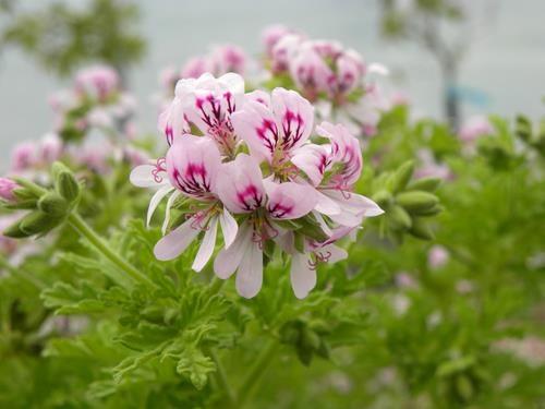 pelargonium graveolens online vivai il sorbo