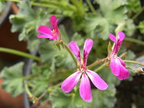 Pelargonium daerwood lavender lad online vivai il sorbo