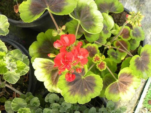 Pelargonium occold shield online vivai il sorbo