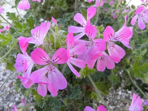 pelargonium pink capitatum online vivai il sorbo