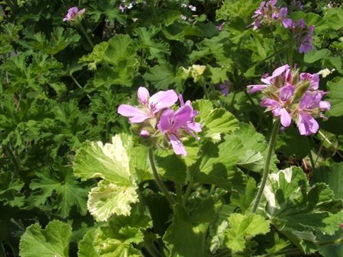 pelargonium charmay snowflurry online vivai il sorbo