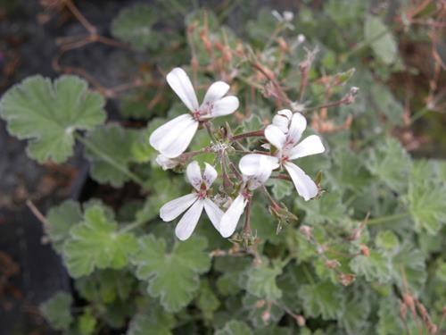 pelargonium fragrans online vivai il sorbo