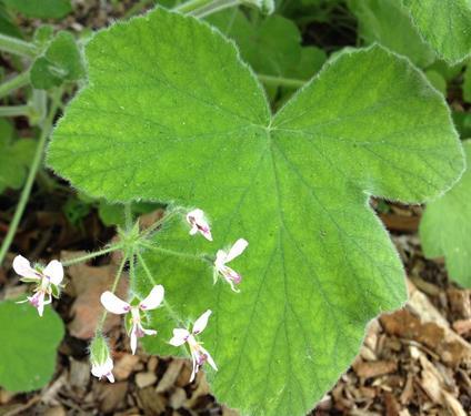 pelargonium tomentosum online vivai il sorbo