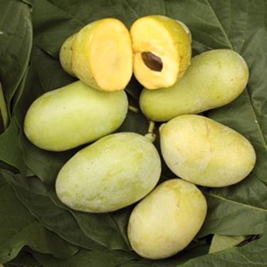 Pianta di banano di montagna < asimina triloba Prima 1216 autofertile >