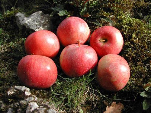 Pianta di mela abbondanza online vivai il sorbo
