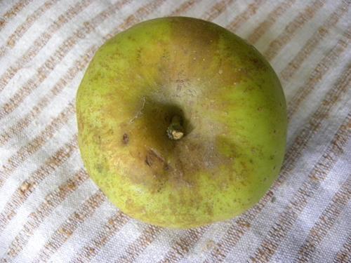 Pianta di mela bella di boskoop online vivai il sorbo